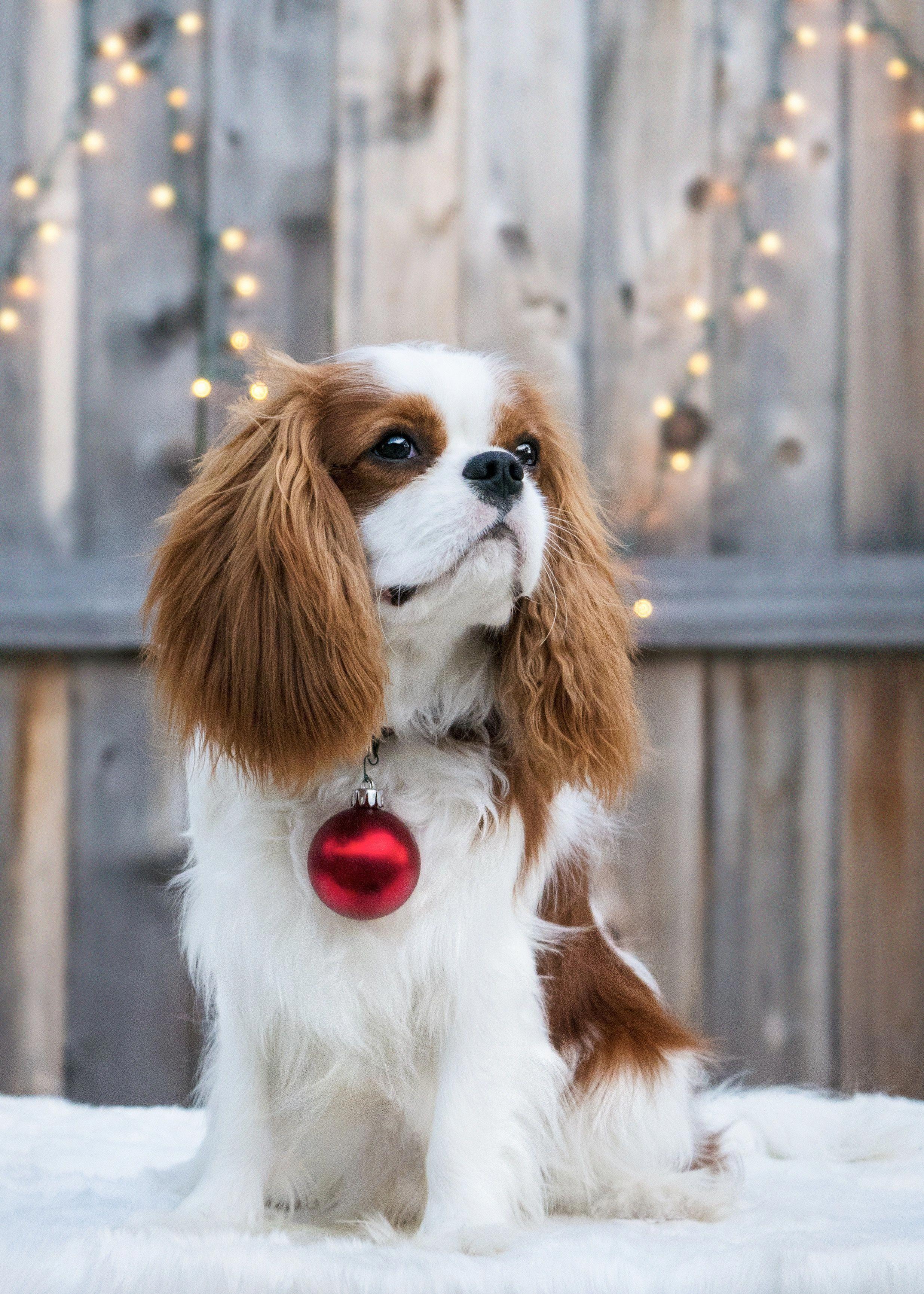 More About Cute Cavalier King Charles Spaniel Grooming Cavalierkingcharles Cavalier King Charles Dog King Charles Cavalier Spaniel Puppy Cavalier King Spaniel