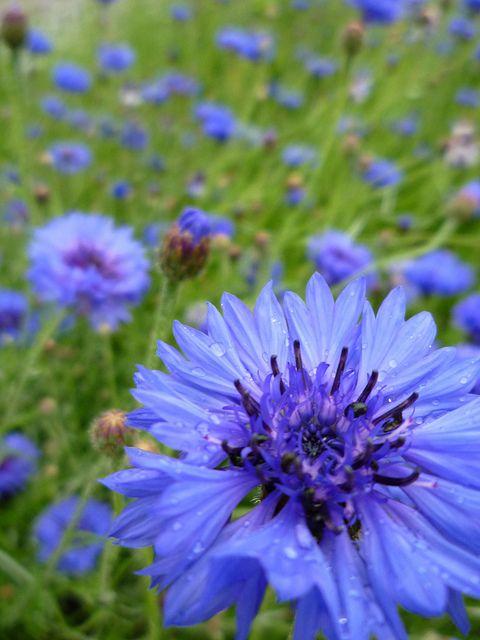 Flower Beautiful Flowers Blue Flowers Blue Garden