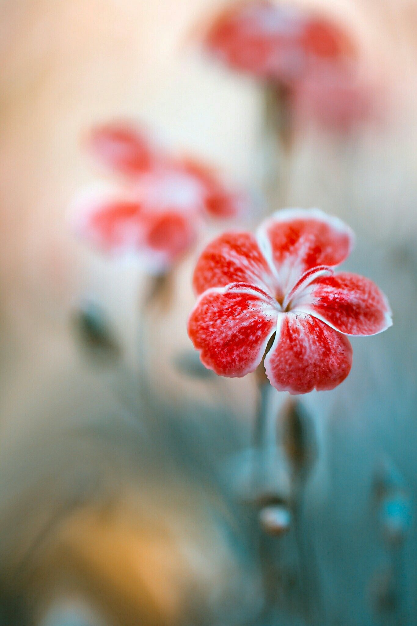 Dianthus by mandy disher beautiful flowers beautiful - Flower wallpaper 7d ...