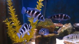 Neolamprologus Tretocephalus Tropical Fish Aquarium Aquarium Fish Tropical Fish