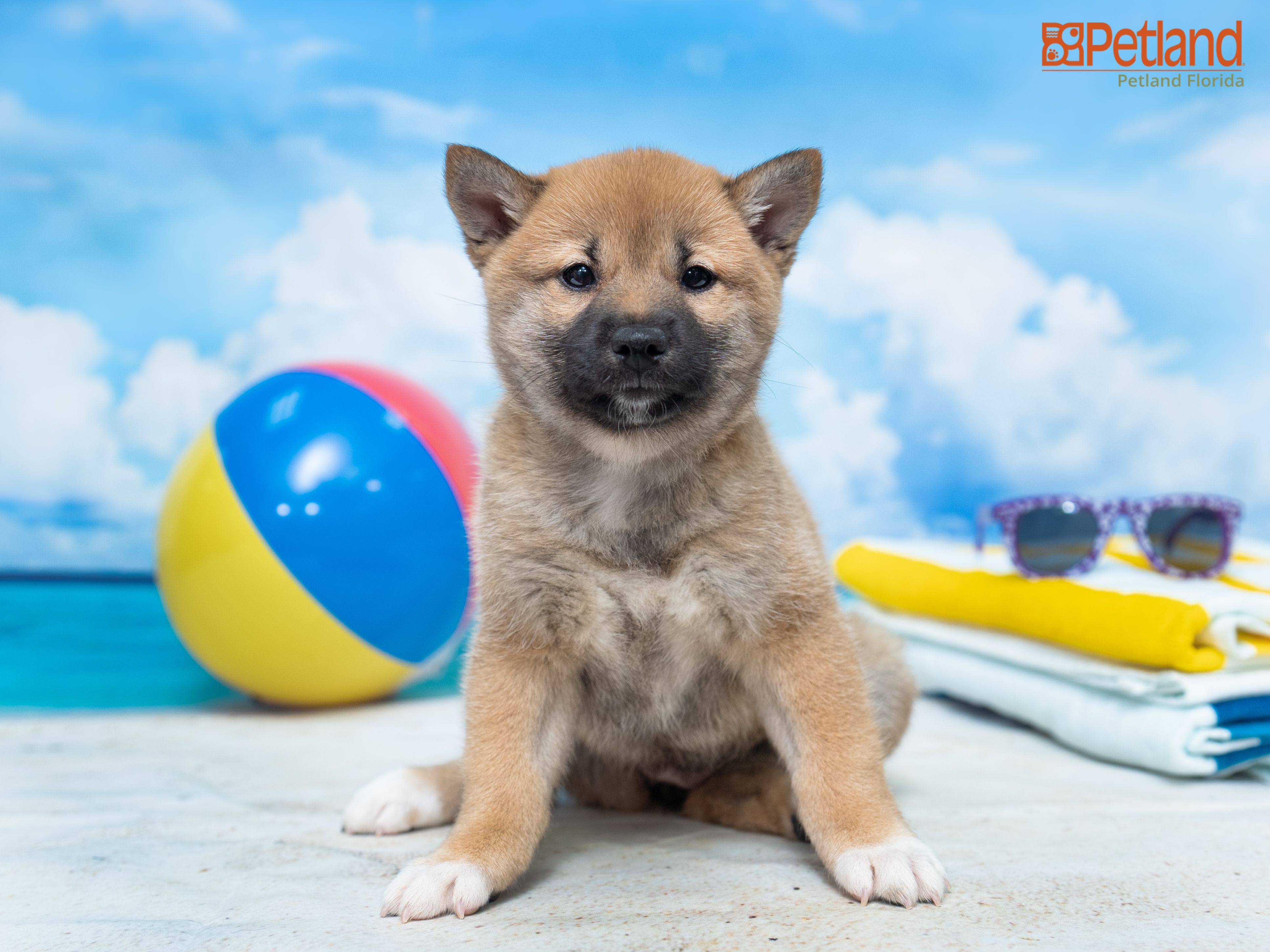 Shiba Inu Dogs For Sale In Florida 2021