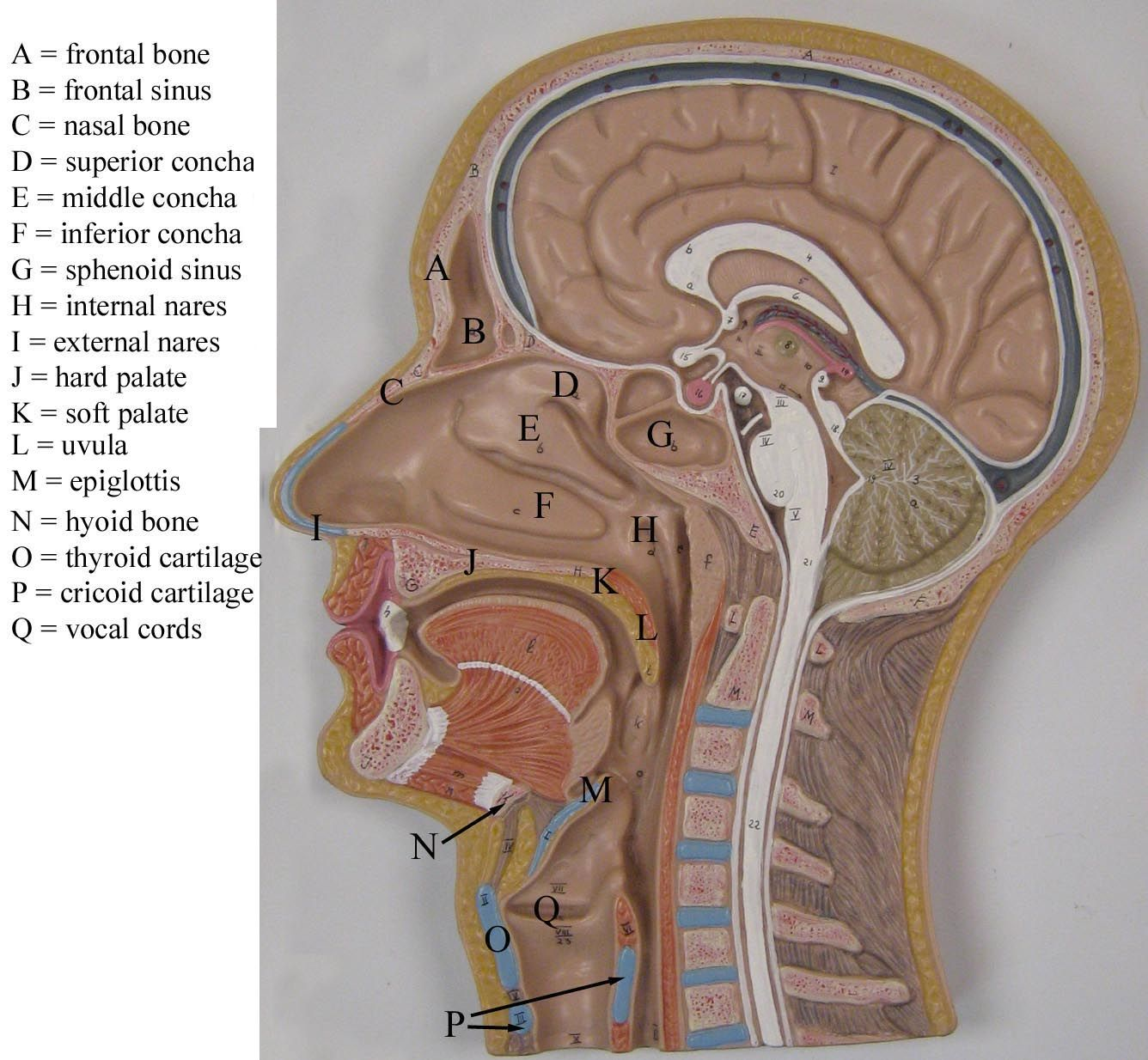 half head model labeled - Google Search | anatomy | Pinterest ...