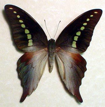 Green Banded Swallowtail Graphium Codrus Which Is Found In The