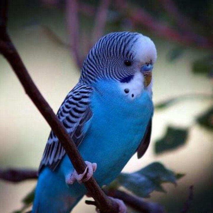blue budgie he looks like mine animals birds