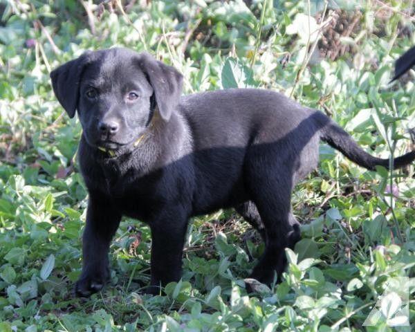 English Labrador Terrain English Labrador Black Lab Puppies Pets For Sale