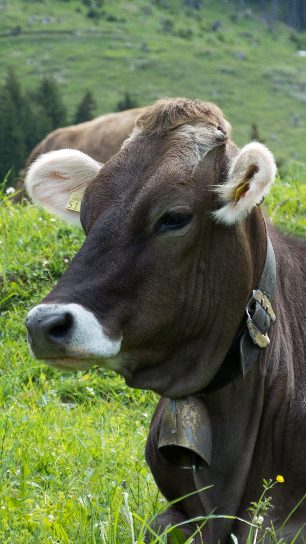 Alpe(n) rund um Oberstdorf Fluffy cows, Cute cows, Animals