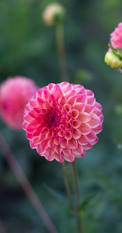 ~~Dahlia 'Robin Hood' | Large 4 inch ball shaped flowers are a stunning mix of coral, peach and apricot. Plants are very productive, reaching 4 feet tall. | Floret Flowers~~