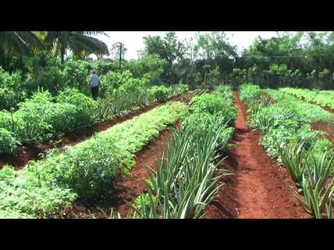 A short film looking at the sucess of urban farming in Havana, with some eye-opening facts at the end. Cuba has reached peak oil a little sooner than the rest of the world, spurring them to create the largest program in sustainable urban agriculture ever undertaken.