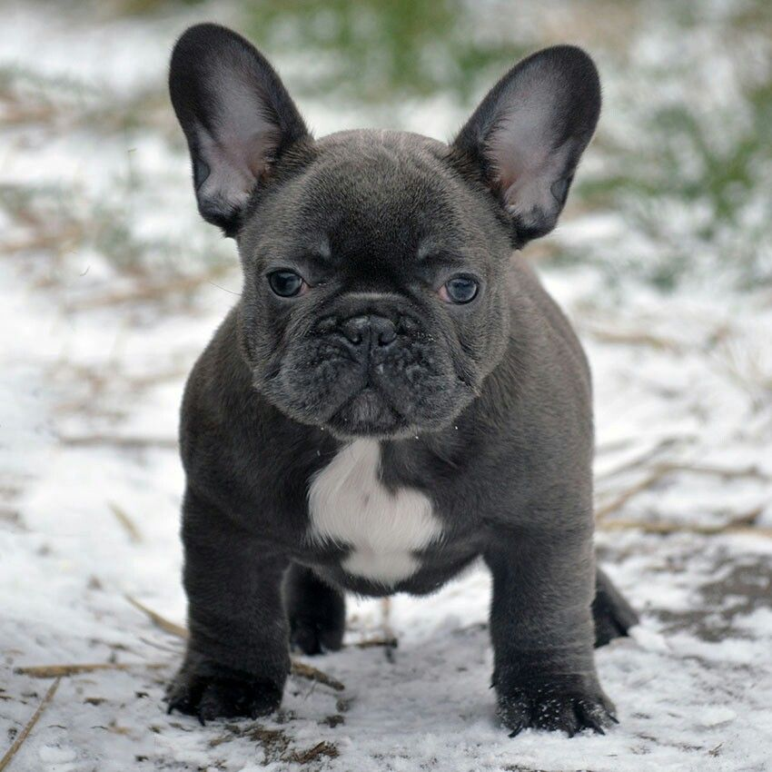 Pin By French Bulldog On French Bulldogs Pinterest French