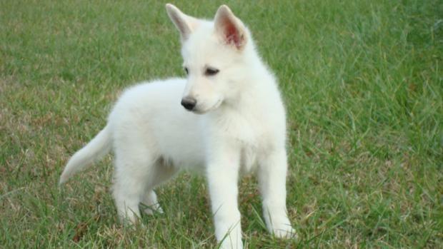 American White Shepherd Price Temperament Life Span White Shepherd Hunde Schaferhund Welpen