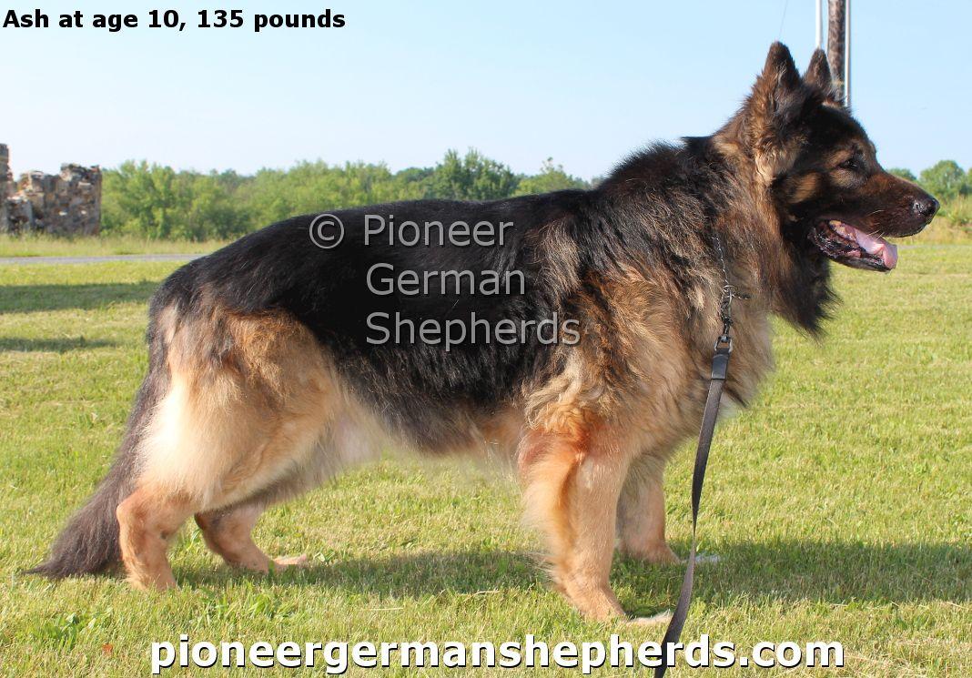 Our Large German Shepherds Large German Shepherd German Shepherd Breeders German Shepherd