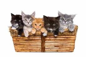 Thank You For Purchasing The Crazy Cat Lady Starter Kit Please Accept This Basket As A Thank Y Kittens Cutest Cute Cats And Kittens Cute Cats Photos