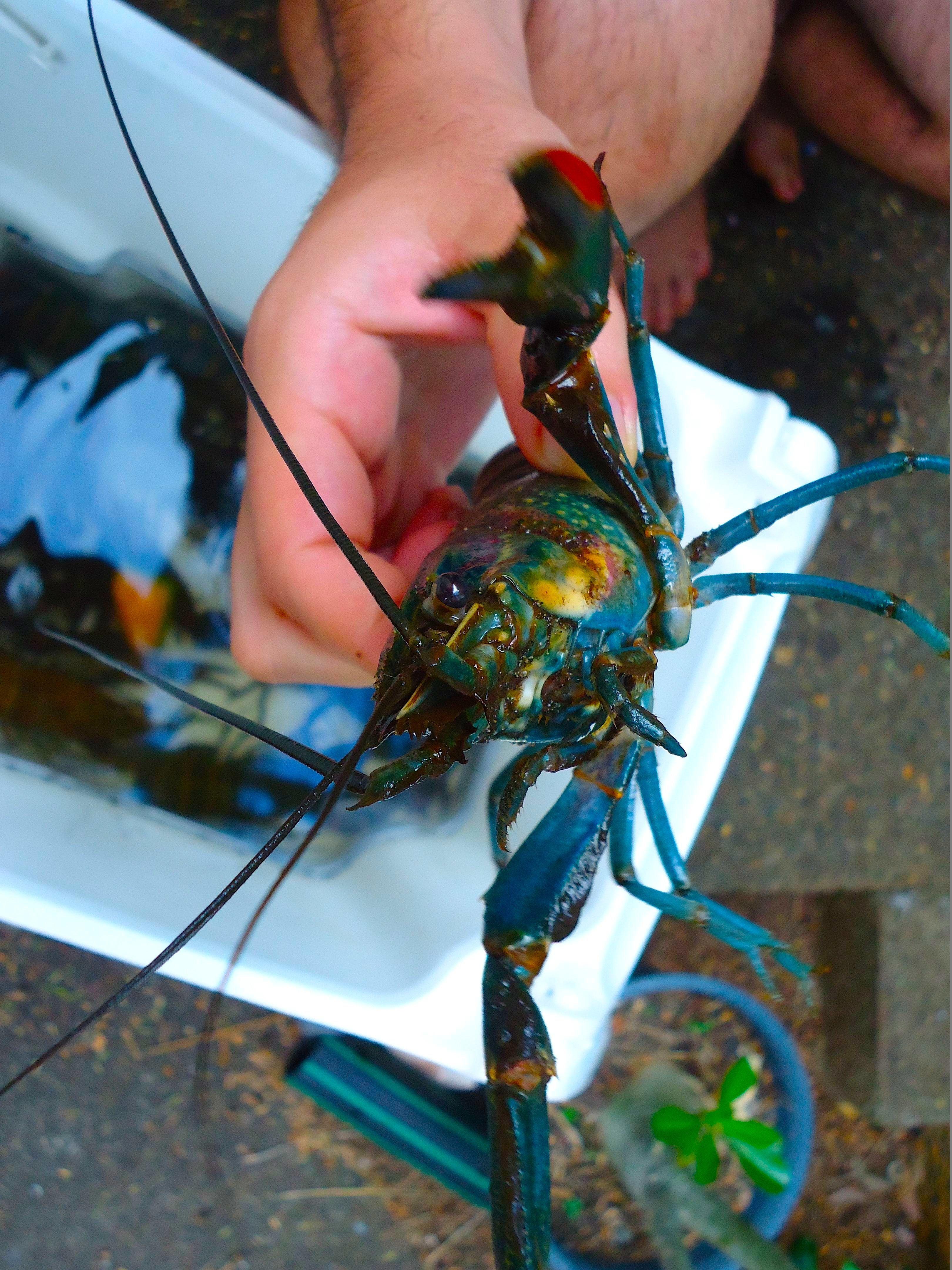 Redclaw crayfish Fish