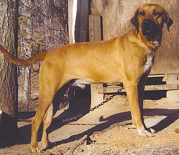 The Blackmouth Cur Is A Hunting And Cattle Dog That Has Its