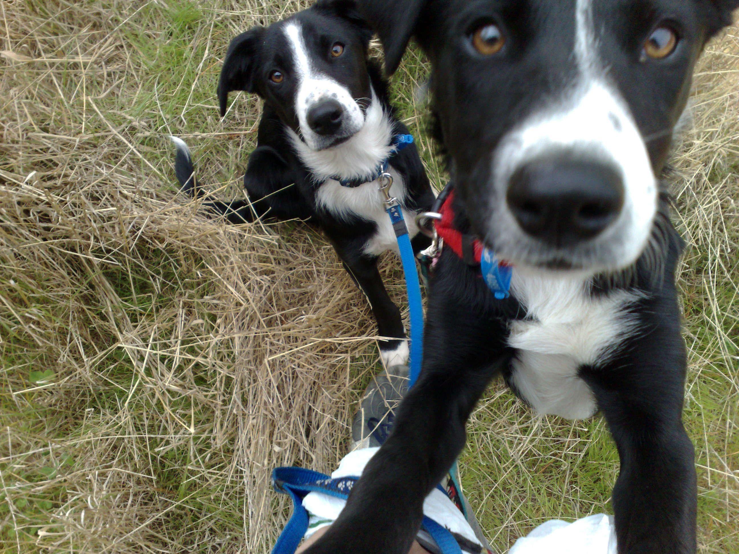 Natcho Border Collie X Huntaway Pawshake Johnsonville Dogs