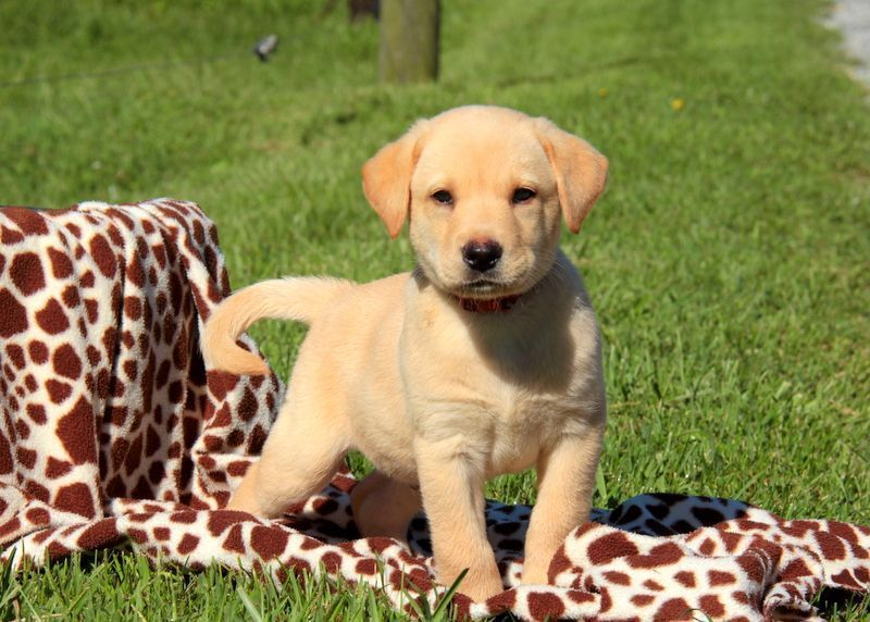 Yellow Labrador Retriever Puppies For Sale Yellow Labs Are Sweet Playful Patient Energetic A Labrador Retriever Puppies Labrador Retriever Retriever Puppy