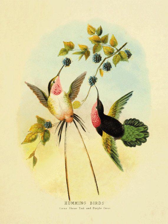 Hummingbirds Art Antique Prints Bird Print By AntiqueWallArt