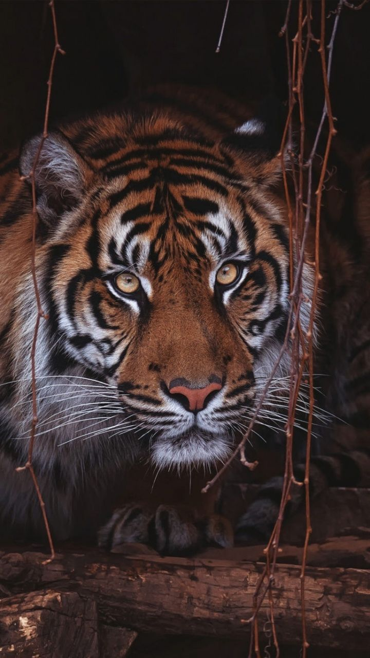 Curious, wild, animal, tiger, 720x1280 wallpaper Animals