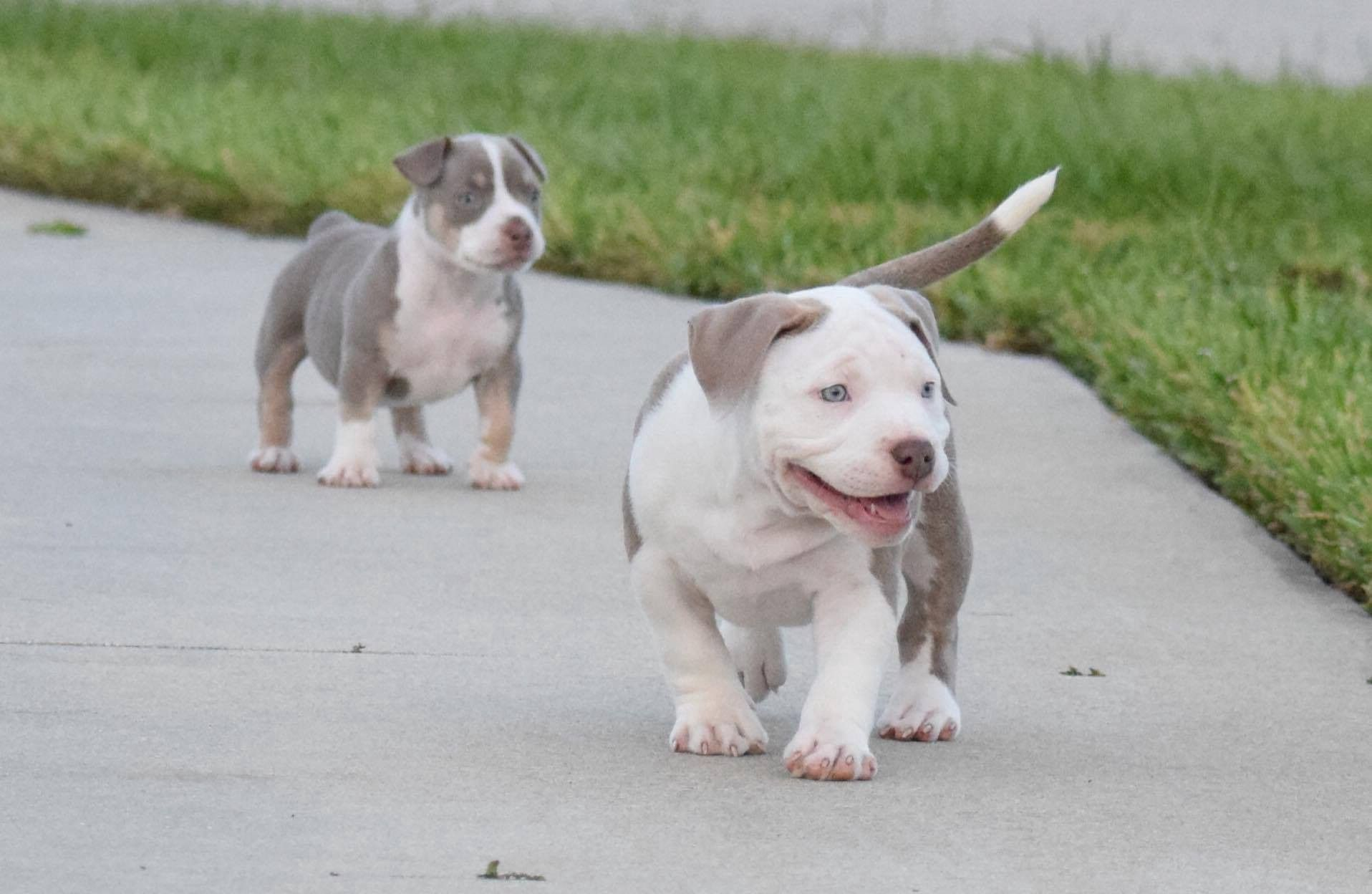 Pin On American Bully Video