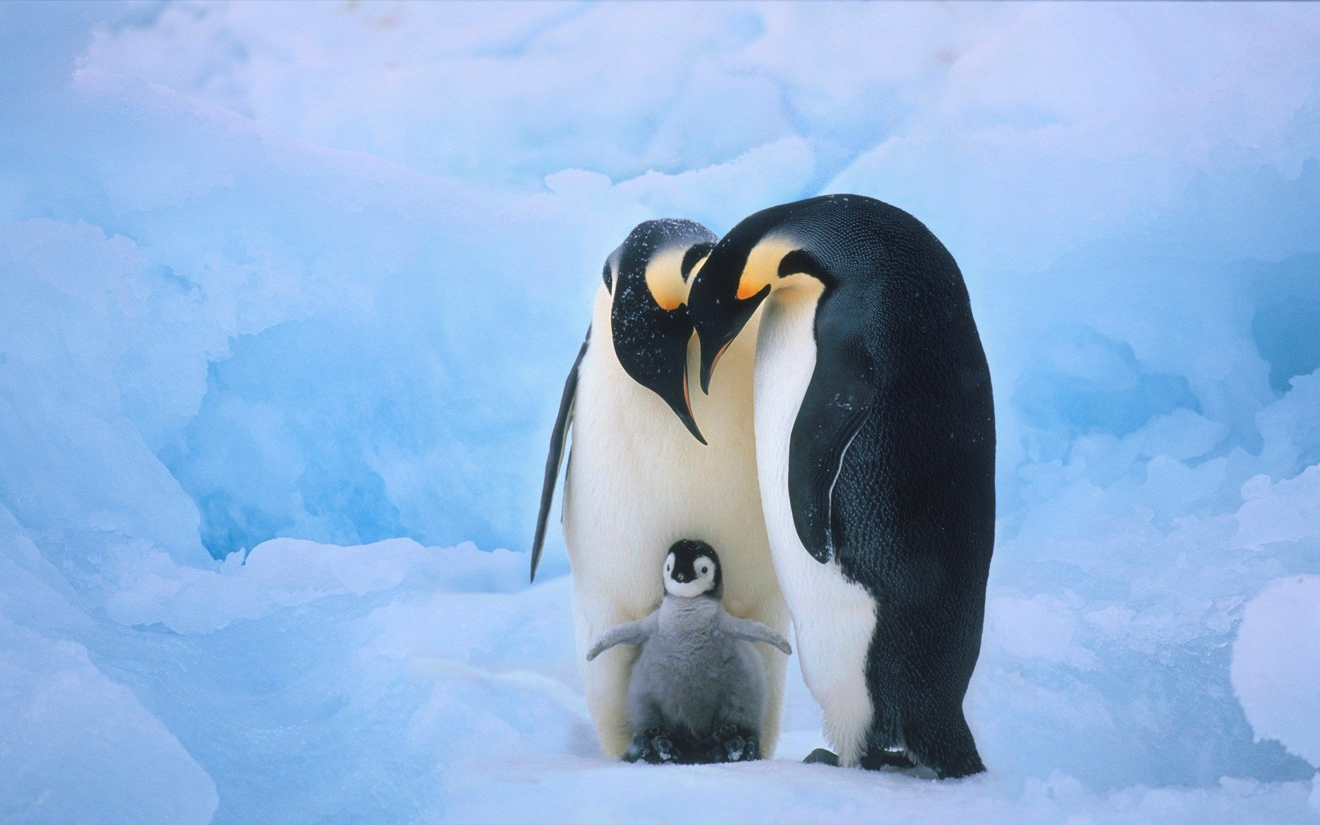 penguin free wallpaper and screensavers ololoshenka