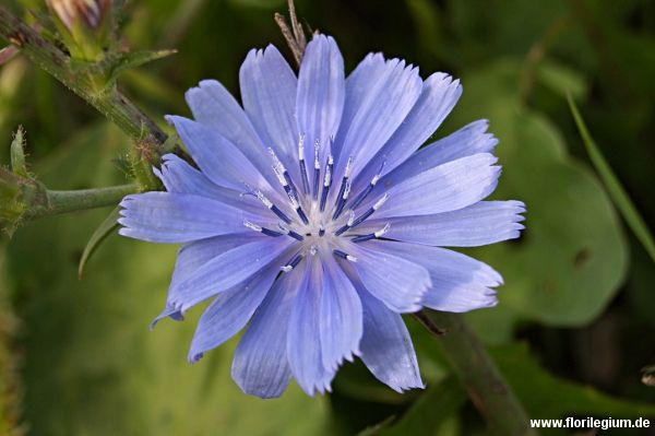 Heimische Pflanzen wegwarte zichorie cichorium initybus http florilegium de