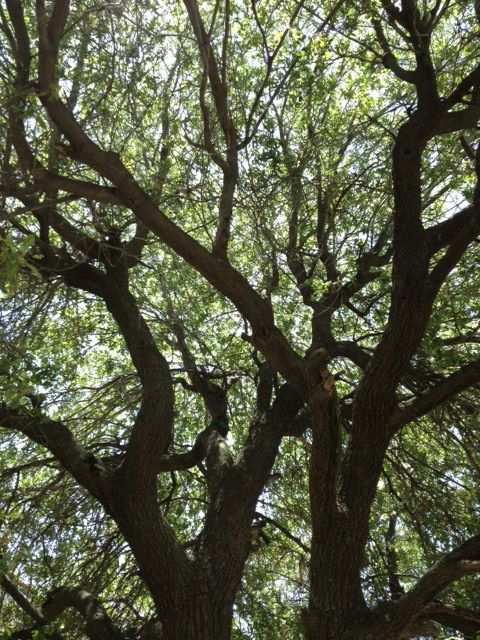 Under the shade of 150 year old Oak tree. Thanks Mother earth.