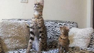 How Are You Real Why Do Cats Purr Giant Cat Savannah Cat