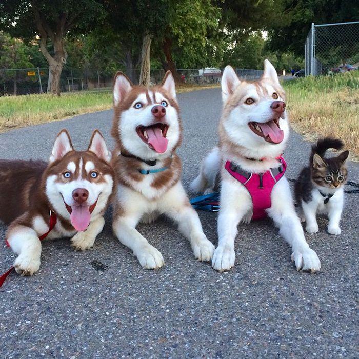 Traja Husky sa stali najlepšími kamarátmi mačky, ktorej ešte nedávno zachránili život