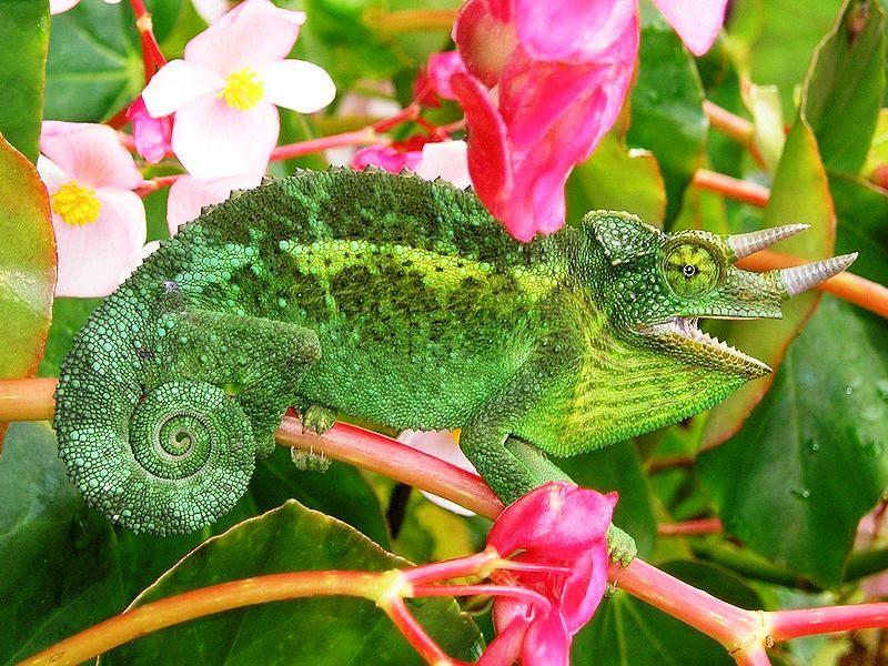 Chameleon Jackson chameleon, Chameleon
