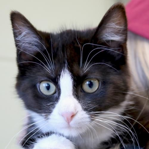 Hi I M Joshua I M A 3 Month Old Neutered Male Black And White Domestic Short Hair With Images Kittens And Puppies Animals Cats And Kittens