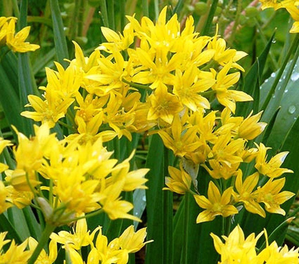 50 X Allium Moly Spring Flower Bulbsperennial Plant Attracts Bees