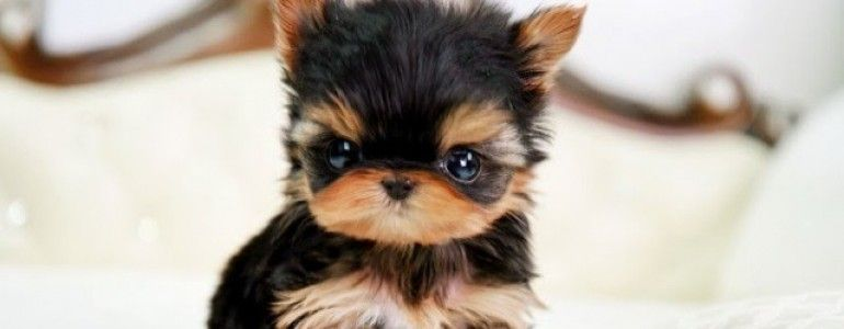 Likable Miniature Toy Dogs For Sale Uk And Mini Toy Dogs
