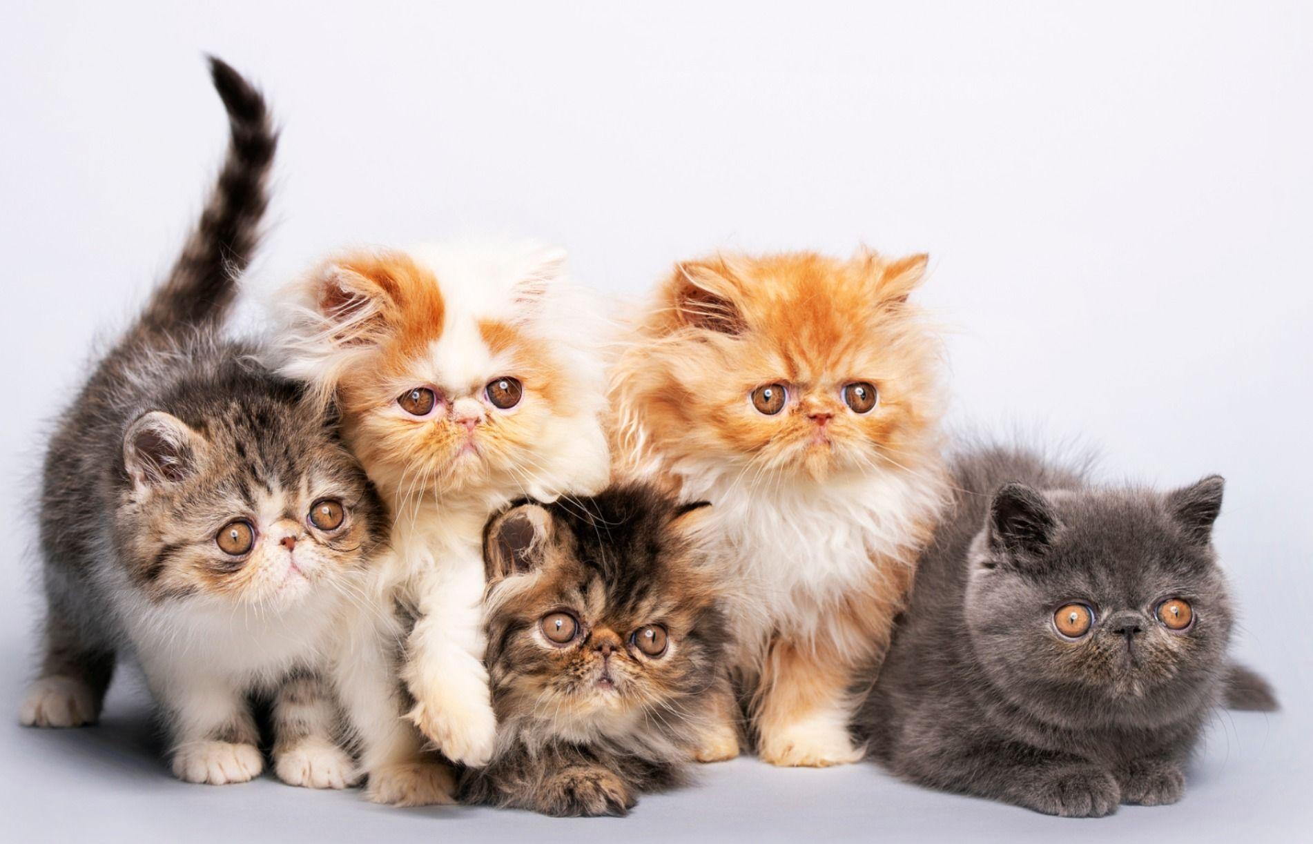 Persian Cats In 2020 Persian Cat Cats Cat Pics