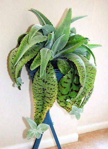 15 SEEDS DONKEY EARS Kalanchoe Gastonis-Bonnieri plant exotic succulents seed