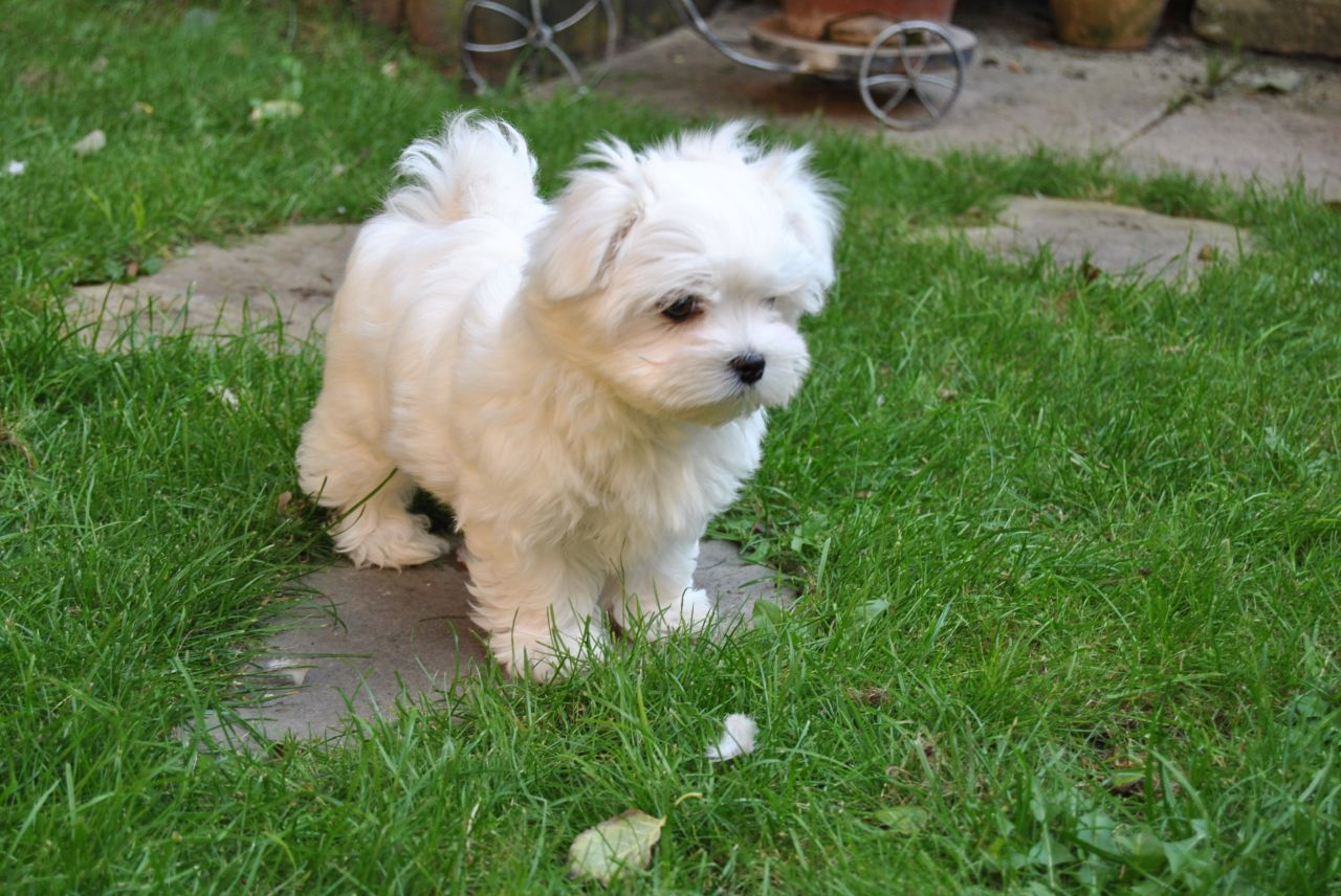 Maltese Puppies Maltese Dogs Puppies Maltese