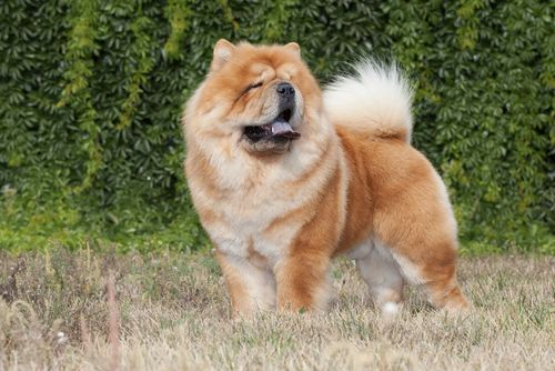 The 10 Fluffiest Dog Breeds Fluffy Dog Breeds Dogs Aggressive
