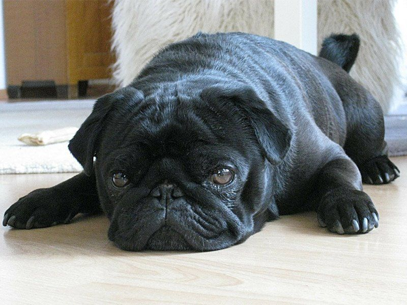 We Have This Gorgeous Pure Black Pug For Sale Ready To Go To His