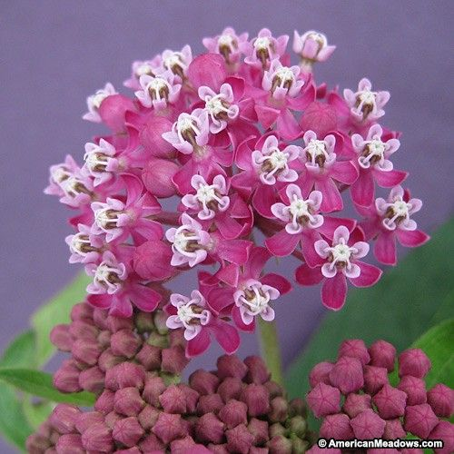 Swamp Milkweed is a red, showier variety of Common Milkweed. It is extremely elegant, producing willowy foliage and cherry-red blooms. It will also attract beautiful butterflies and hummingbirds to your garden or meadow. Perennial.