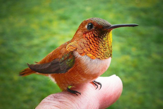 8398884d6d2ac9859e2183e681f8ed98 - How To Get A Hummingbird To Land On Your Finger
