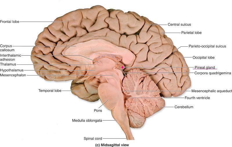 INFOGRAFIC REPTILIAN BRAIN - Pesquisa Google   Neuroscience   Pinterest