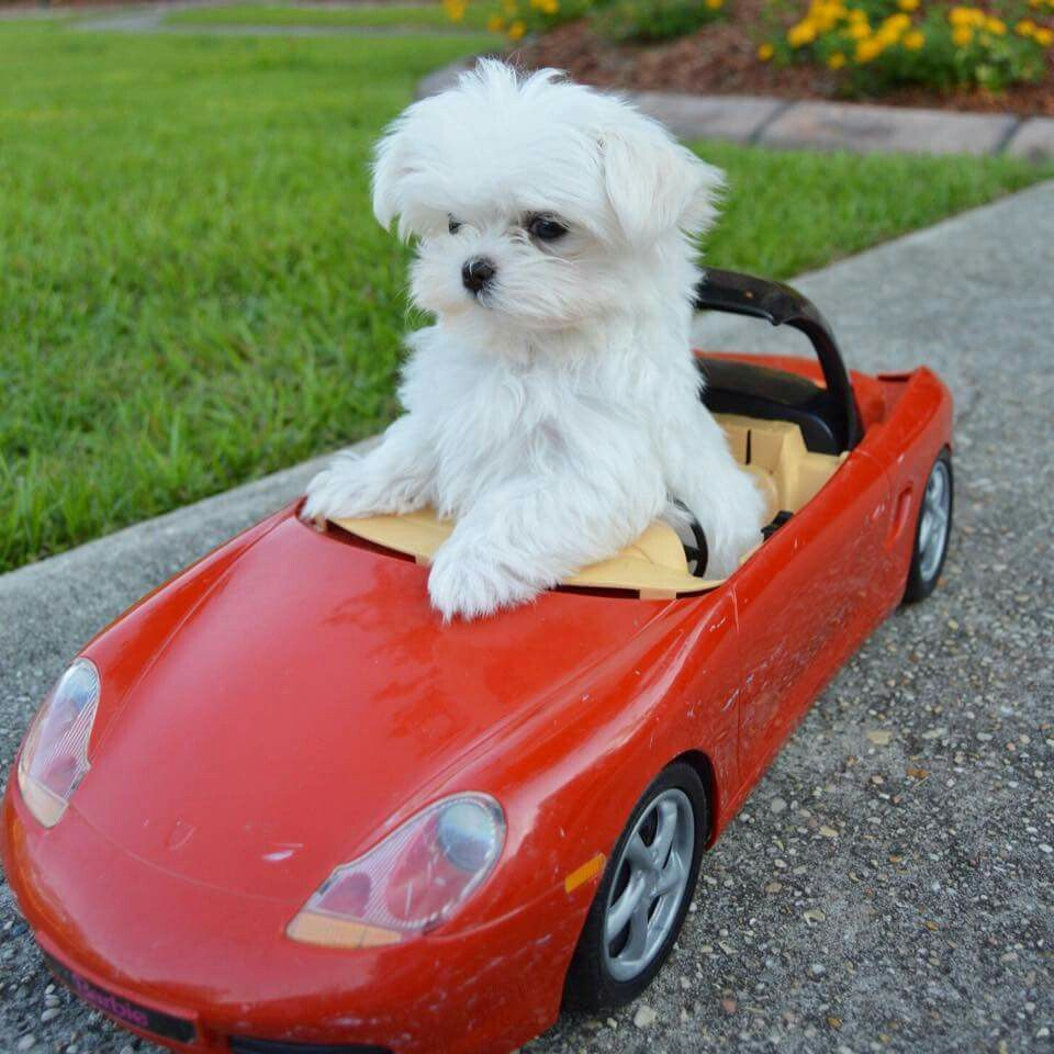 Dog Ride A Car What Tell Me D Maltese Dogs Maltese Puppy