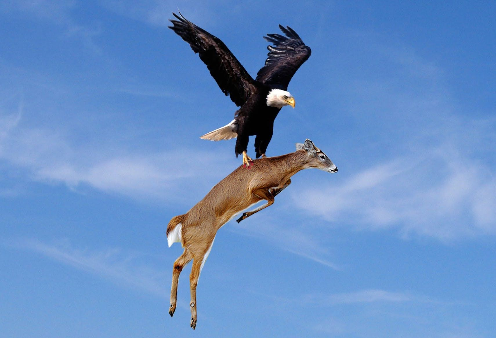 Bald eagle bends examine duckling prey mid, The bald eagle
