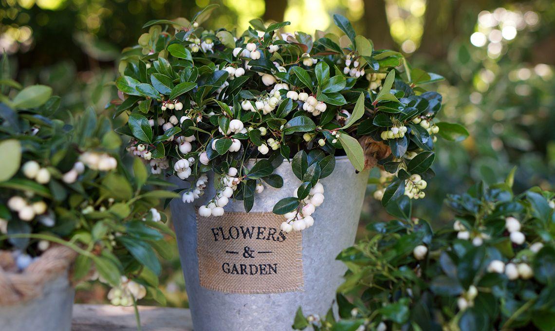 Inserisci in giardino o sul terrazzo piante da bacca: fioriscono in ...