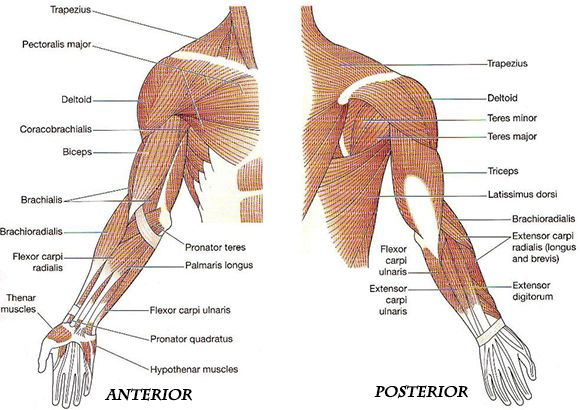 arm anatomy muscles - google search | anatomy | pinterest | arm, Human Body