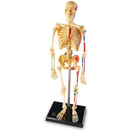 Anatomy Models Skeleton Multicolor Anatomy Models Skeleton
