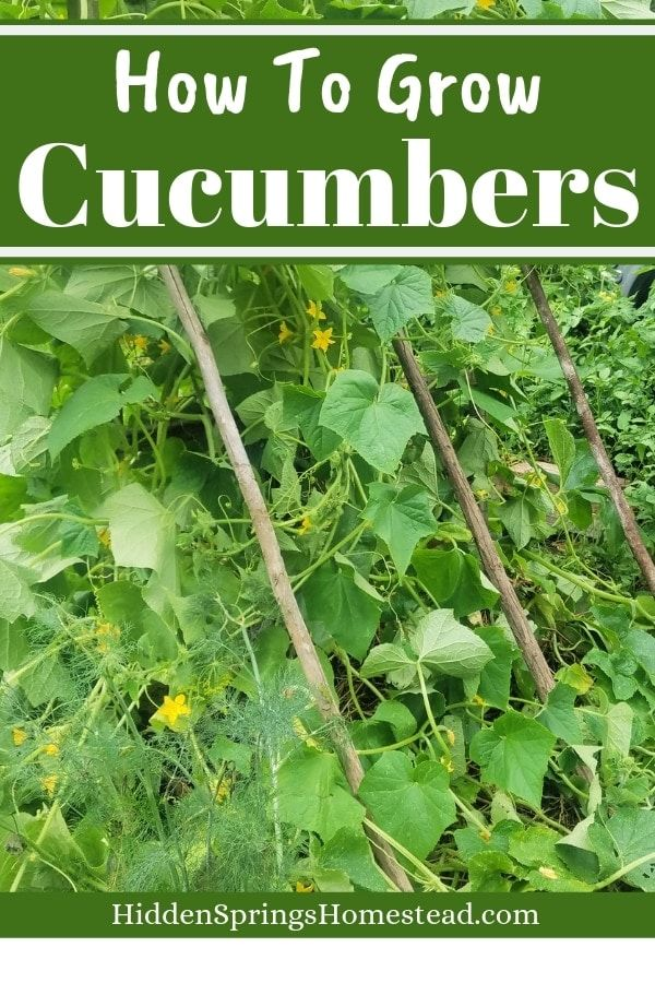 How To Grow Cucumbers Plant Grow Harvest In 2020 400 x 300