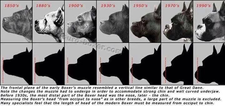 The Boxer facial features from the past to the present - How true can the facial features of the past actually be???