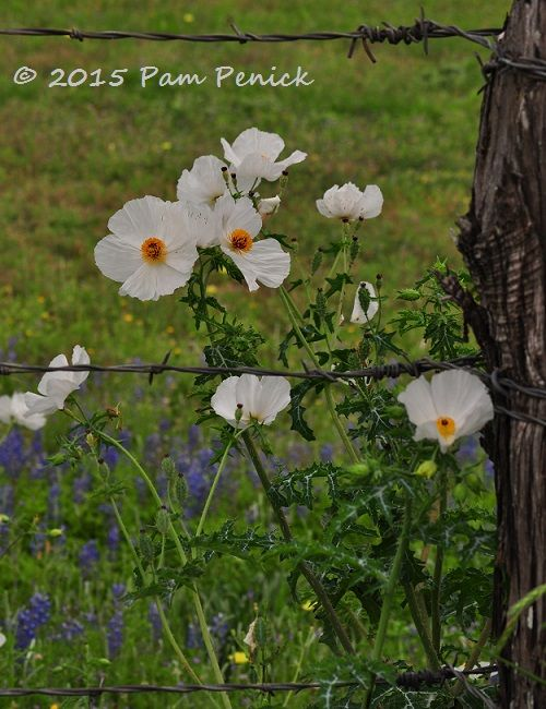 White prickly poppy (Argemone albiflora)   Digging