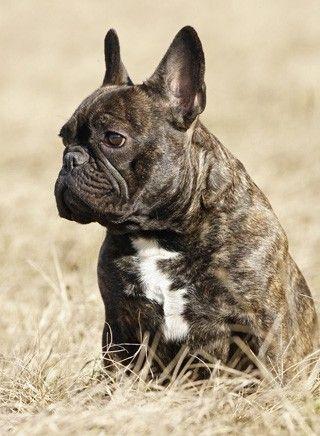 Franzosische Bulldogge Franzosische Bulldogge Bulldogge