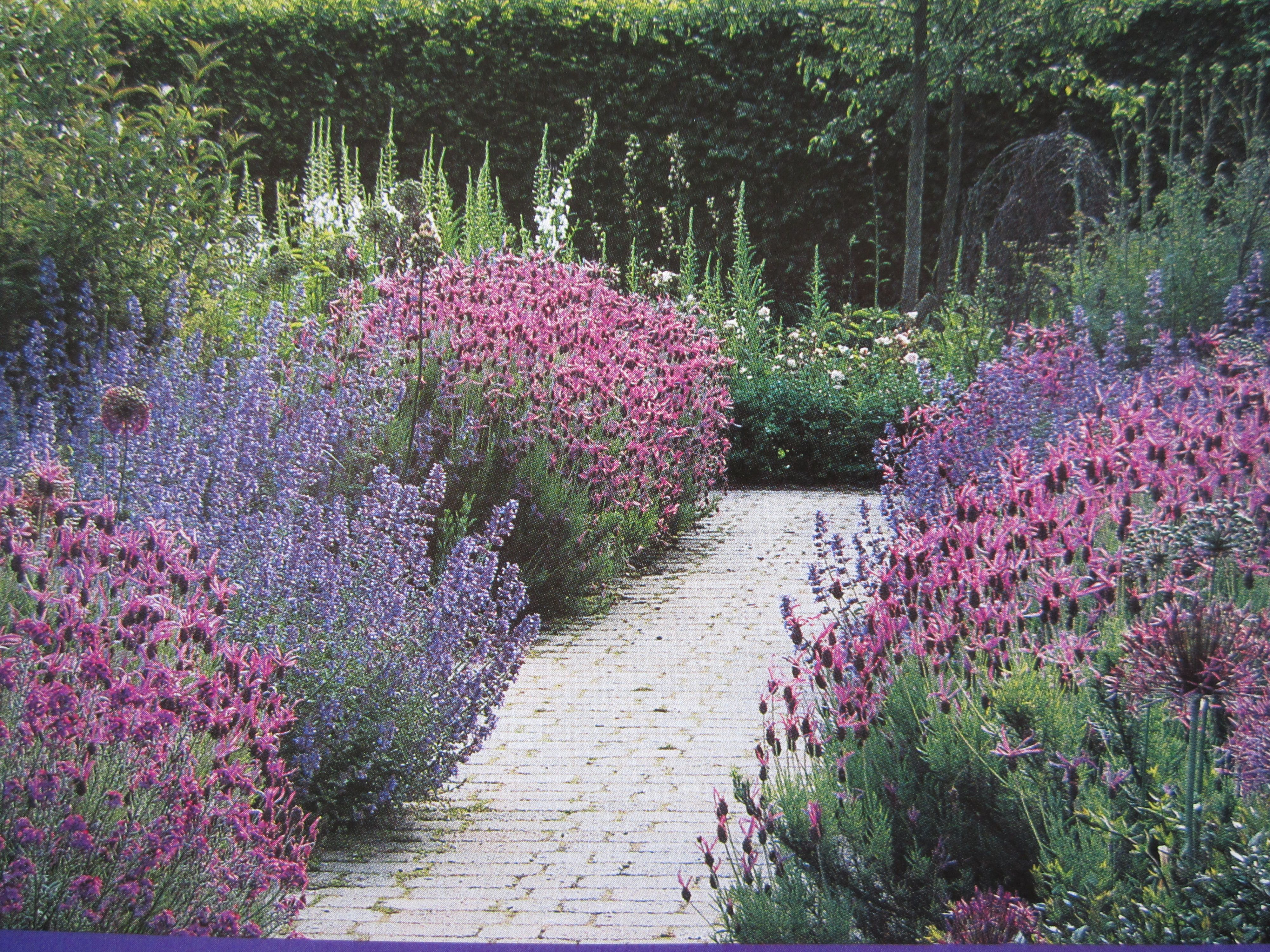 Pretty walkway with spanish lavendar and catmint for Garden design ideas lavender